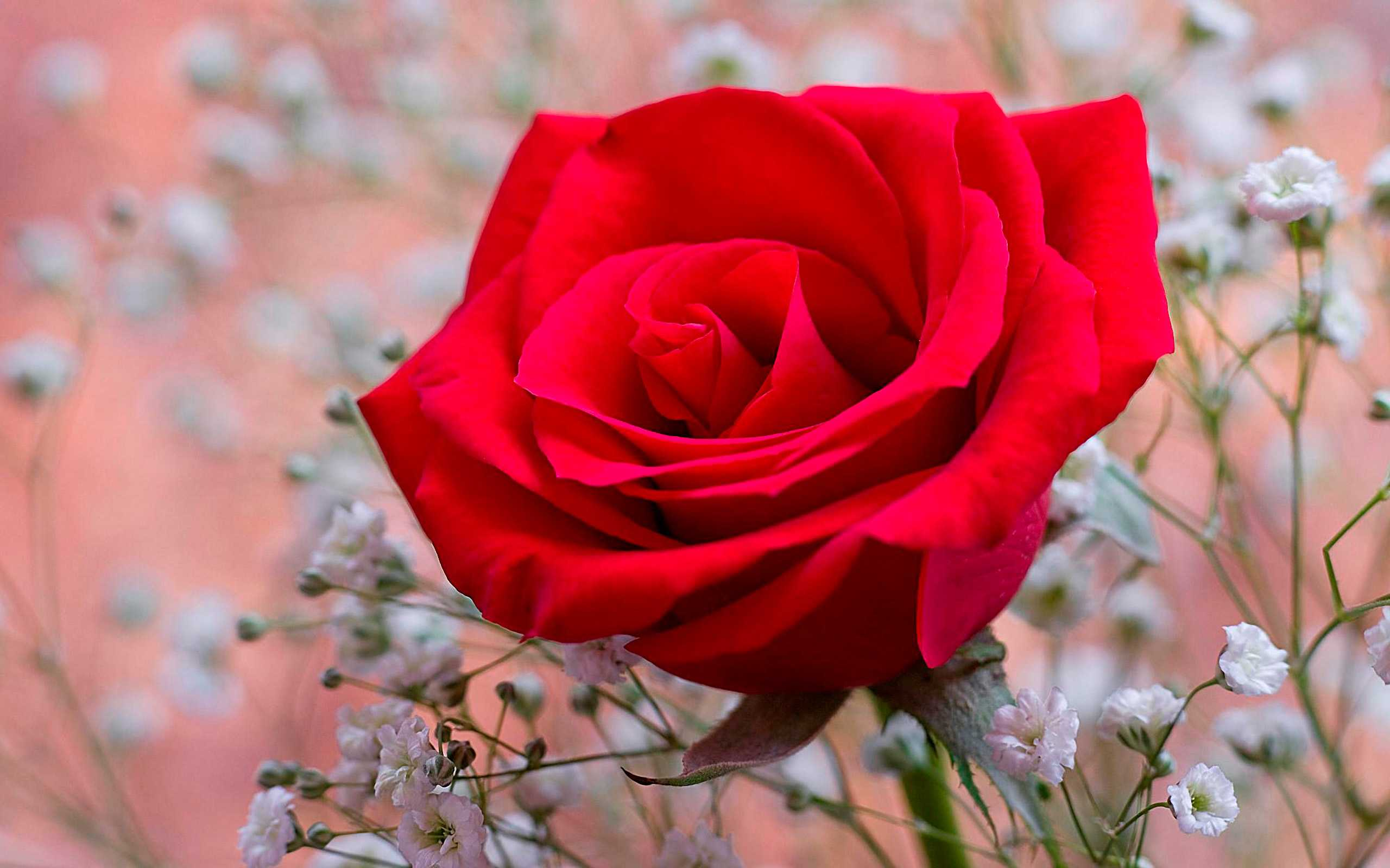Nature Wallpapers Download Free Fragrant Red Rose Wallpapers Photos Pictures And Backgrounds