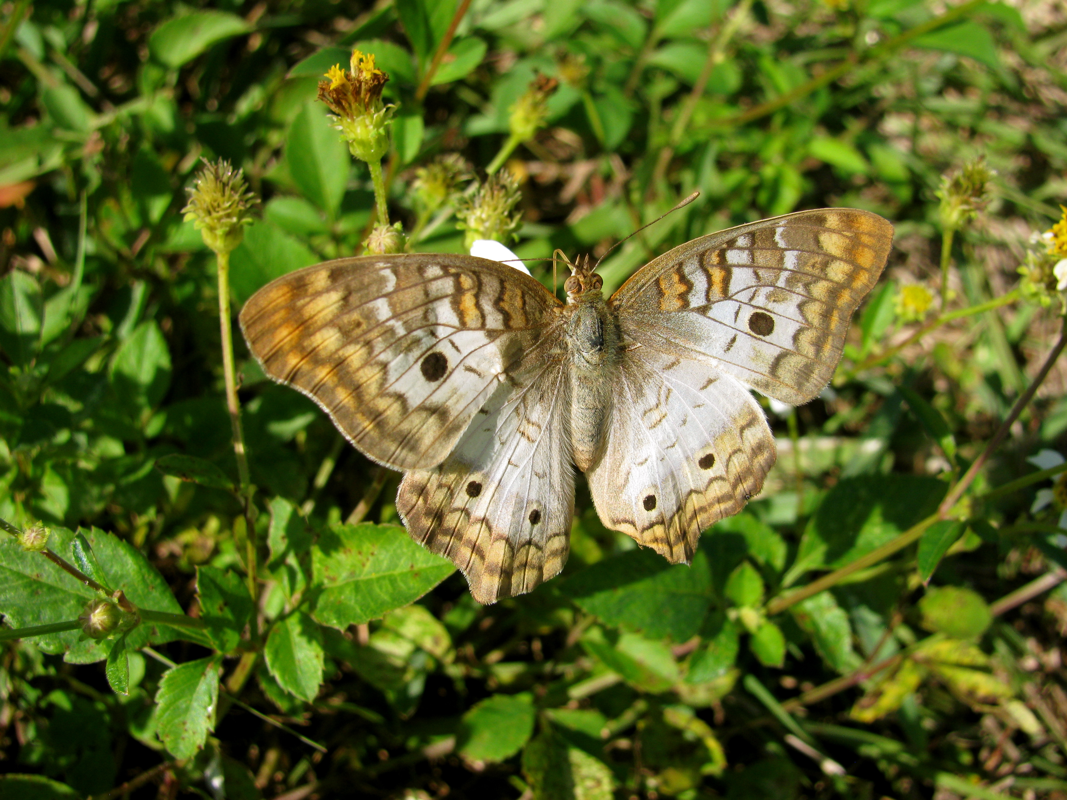 Brown And Grey Butterfly